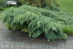 Blue Carpet Juniper (Juniperus squamata 'Blue Carpet') at Canadale Nurseries