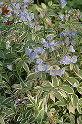 Touch Of Class Jacob's Ladder (Polemonium reptans 'Touch Of Class') at Canadale Nurseries