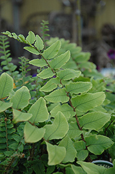 Japanese Holly Fern (Cyrtomium falcatum) at Canadale Nurseries