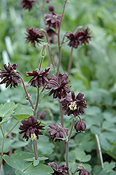 Black Barlow Columbine (Aquilegia vulgaris 'Black Barlow') at Canadale Nurseries