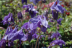 Alpine Columbine (Aquilegia alpina) at Canadale Nurseries