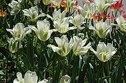 Spring Green Tulip (Tulipa 'Spring Green') at Canadale Nurseries