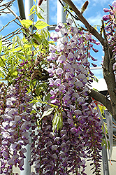 Black Dragon Wisteria (Wisteria floribunda 'Black Dragon') at Canadale Nurseries