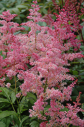 Jump and Jive Astilbe (Astilbe 'Jump And Jive') at Canadale Nurseries