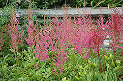 Visions in Pink Chinese Astilbe (Astilbe chinensis 'Visions in Pink') at Canadale Nurseries