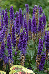 Royal Candles Speedwell (Veronica spicata 'Royal Candles') at Canadale Nurseries