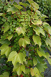 Green Showers Boston Ivy (Parthenocissus tricuspidata 'Green Showers') at Canadale Nurseries