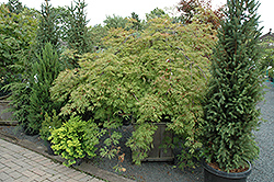 Green Cascade Maple (Acer japonicum 'Green Cascade') at Canadale Nurseries