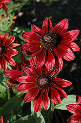 Cherry Brandy Coneflower (Rudbeckia hirta 'Cherry Brandy') at Canadale Nurseries