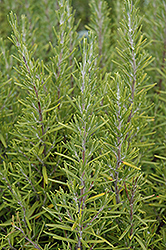 Upright Rosemary (Rosmarinus officinalis 'Upright') at Canadale Nurseries