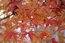 Butterfly Variegated Japanese Maple (Acer palmatum 'Butterfly') at Canadale Nurseries