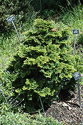 Tempelhof Falsecypress (Chamaecyparis obtusa 'Tempelhof') at Canadale Nurseries