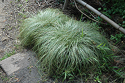 New Zealand Hair Sedge (Carex comans 'Frosted Curls') at Canadale Nurseries