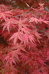 Suminagashi Japanese Maple (Acer palmatum 'Suminagashi') at Canadale Nurseries