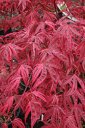 Shirazz Japanese Maple (Acer palmatum 'Gwen's Rose Delight') at Canadale Nurseries