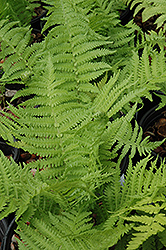 The King Ostrich Fern (Matteuccia 'The King') at Canadale Nurseries