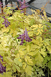 Berry Exciting Corydalis (Corydalis 'Berry Exciting') at Canadale Nurseries