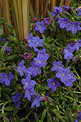 Grace Ward Lithodora (Lithodora 'Grace Ward') at Canadale Nurseries
