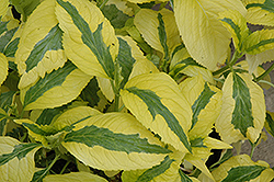 Lemon Wave Hydrangea (Hydrangea macrophylla 'Lemon Wave') at Canadale Nurseries