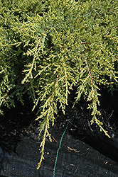 Gold Star Juniper (Juniperus chinensis 'Bakaurea') at Canadale Nurseries