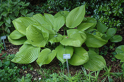 Sum and Substance Hosta (Hosta 'Sum and Substance') at Canadale Nurseries