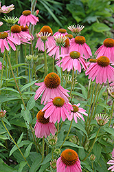 Kim's Knee High Coneflower (Echinacea 'Kim's Knee High') at Canadale Nurseries