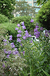 Canterbury Bells (Campanula medium) at Canadale Nurseries