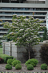 Flowering Dogwood (Cornus florida) at Canadale Nurseries
