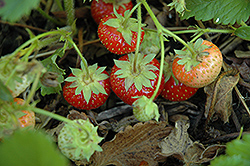 Common Wild Strawberry (Fragaria virginiana) at Canadale Nurseries