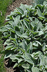 Giant Lamb's Ears (Stachys byzantina 'Big Ears') at Canadale Nurseries