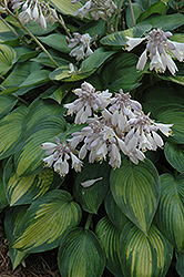June Hosta (Hosta 'June') at Canadale Nurseries