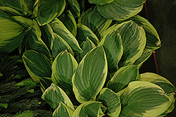 Blazing Saddles Hosta (Hosta 'Blazing Saddles') at Canadale Nurseries
