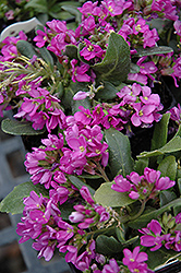 Spring Charm Rock Cress (Arabis 'Spring Charm') at Canadale Nurseries