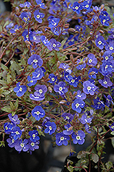 Georgia Blue Speedwell (Veronica peduncularis 'Georgia Blue') at Canadale Nurseries