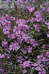 Purple Beauty Moss Phlox (Phlox subulata 'Purple Beauty') at Canadale Nurseries
