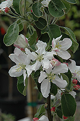 Granny Smith Apple (Malus 'Granny Smith') at Canadale Nurseries