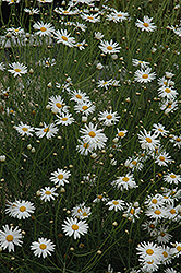 Marguerite Daisy (Argyranthemum gracile) at Canadale Nurseries