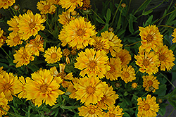 Jethro Tull Tickseed (Coreopsis 'Jethro Tull') at Canadale Nurseries
