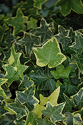 Gold Child Ivy (Hedera helix 'Gold Child') at Canadale Nurseries