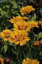 Sunfire Tickseed (Coreopsis grandiflora 'Sunfire') at Canadale Nurseries