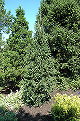 Columnar Norway Spruce (Picea abies 'Cupressina') at Canadale Nurseries