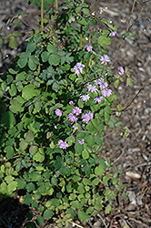 Hewitt's Double Meadow Rue (Thalictrum delavayi 'Hewitt's Double') at Canadale Nurseries