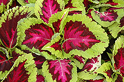 Kong Rose Coleus (Solenostemon scutellarioides 'Kong Rose') at Canadale Nurseries
