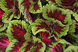 Kong Red Coleus (Solenostemon scutellarioides 'Kong Red') at Canadale Nurseries