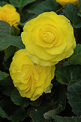 Nonstop® Yellow Begonia (Begonia 'Nonstop Yellow') at Canadale Nurseries