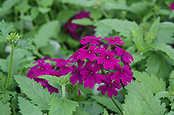 Superbena® Purple Verbena (Verbena 'Superbena Purple') at Canadale Nurseries