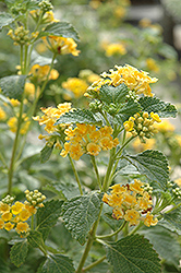 Sunburst Lantana (Lantana 'Sunburst') at Canadale Nurseries
