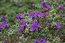 Dwarf Purple Rhododendron (Rhododendron impeditum) at Canadale Nurseries