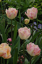 Peach Melba Tulip (Tulipa 'Peach Melba') at Canadale Nurseries