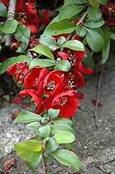Crimson and Gold Flowering Quince (Chaenomeles x superba 'Crimson and Gold') at Canadale Nurseries